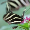 Zebra Longwing Butterflies